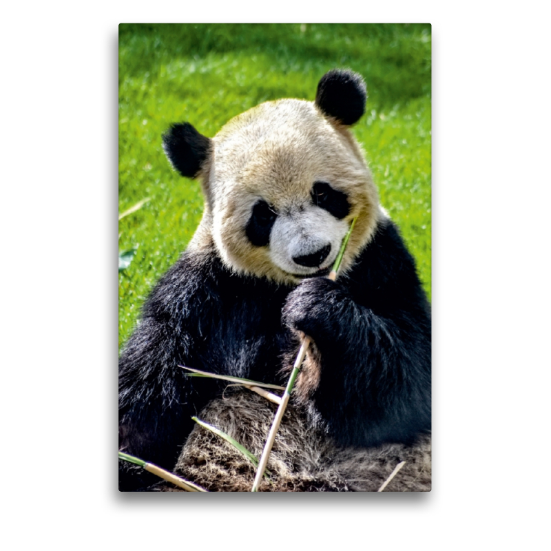 Premium Textil-Leinwand 50 cm x 75 cm hoch Panda