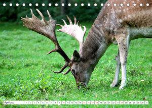 Der Damhirsch - Der Schaufelträger des Waldes (Tischkalender 2022 DIN A5 quer)