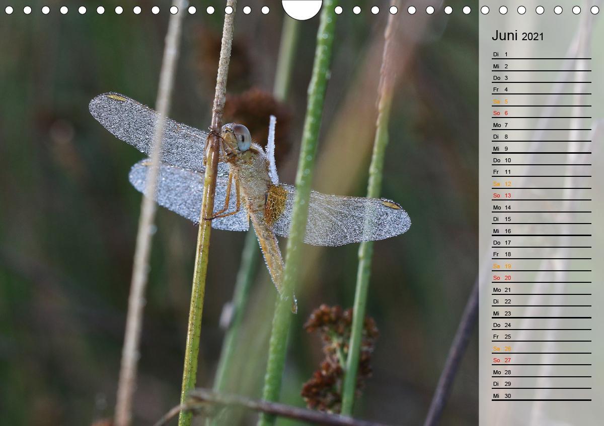 Libellen im Morgentau (Wandkalender 2021 DIN A4 quer)