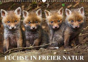 Füchse in freier Natur (Wandkalender 2021 DIN A3 quer)
