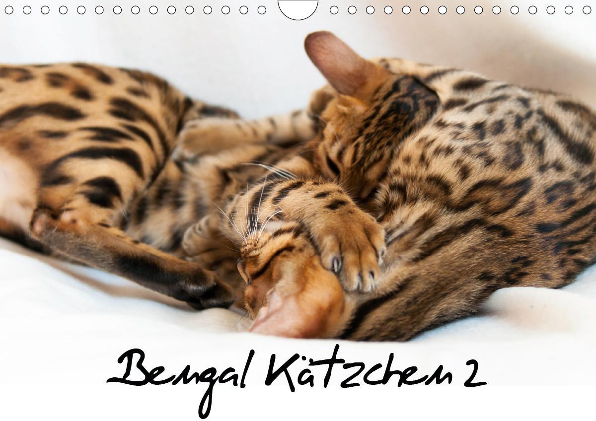 Bengal Kätzchen 2 (Wandkalender 2021 DIN A4 quer)