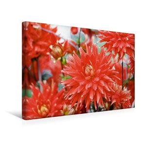 Premium Textil-Leinwand 45 cm x 30 cm quer Dahlien - Prachtvolle Blüten des Spätsommers