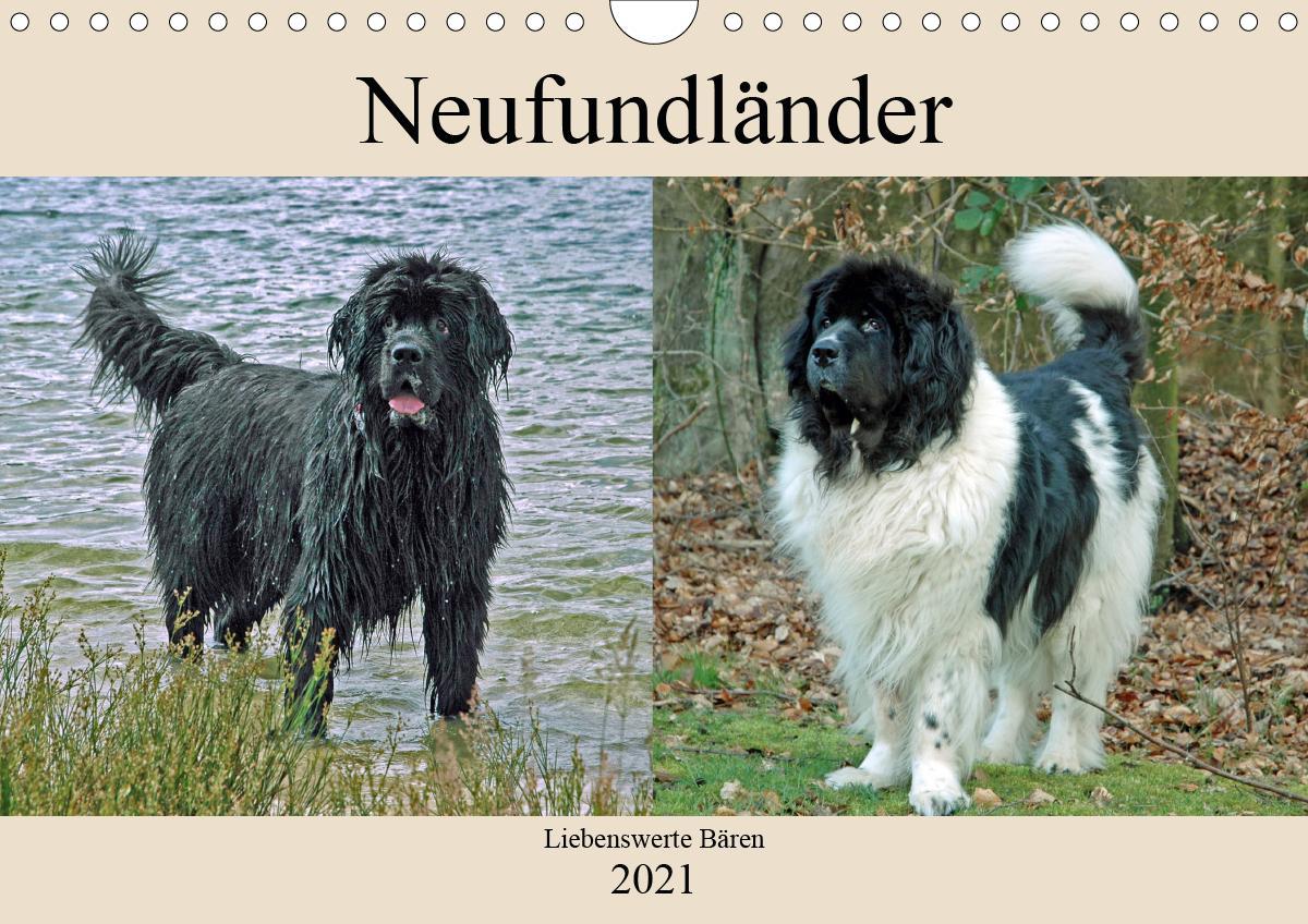 Neufundländer Liebenswerte Bären (Wandkalender 2021 DIN A4 quer)