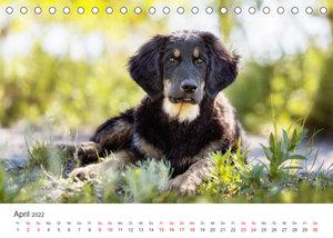 Hovawart - Auf vier Pfoten durch das Jahr (Tischkalender 2022 DIN A5 quer)