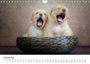 Hovawart - Auf vier Pfoten durch das Jahr (Wandkalender 2022 DIN A4 quer)
