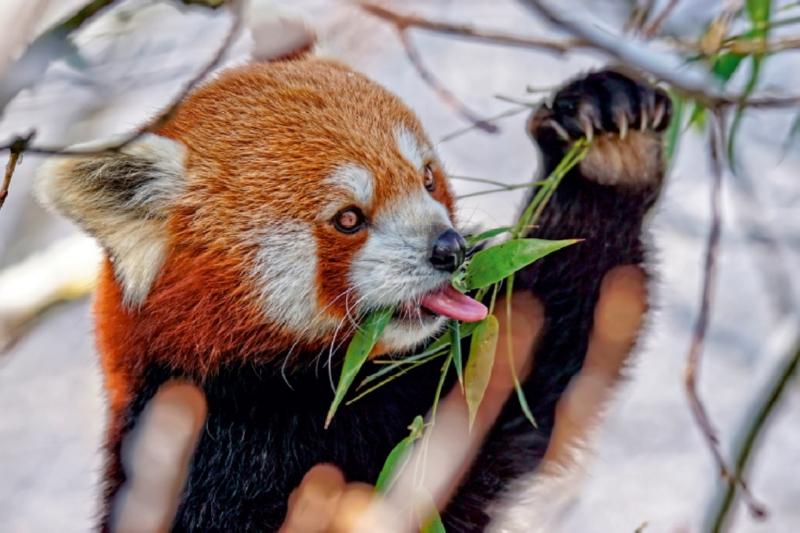 Premium Textil-Leinwand 45 cm x 30 cm quer Kleiner Panda