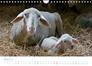 Mit Schafen durch das Jahr (Wandkalender 2022 DIN A4 quer)