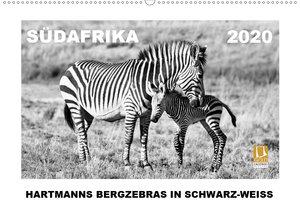 SÜDAFRIKA Hartmanns Bergzebras in schwarz-weiss
