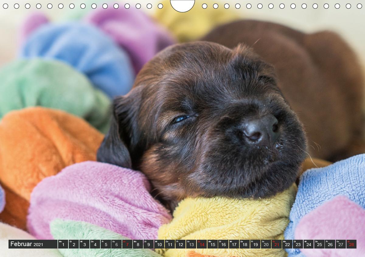 Briard-Welpen - Knuddelbären zum Verlieben (Wandkalender 2021 DI