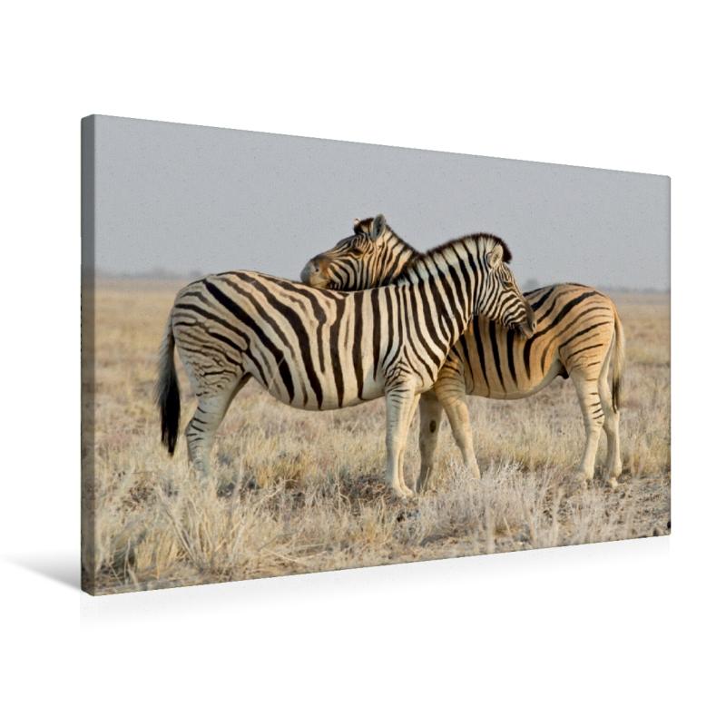 Premium Textil-Leinwand 75 cm x 50 cm quer Zebras