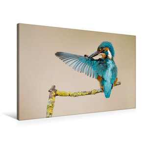 Premium Textil-Leinwand 90 cm x 60 cm quer Eisvogel bei Gefieder
