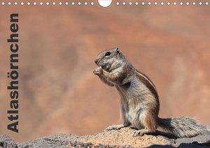 Atlashörnchen (Wandkalender 2021 DIN A4 quer)