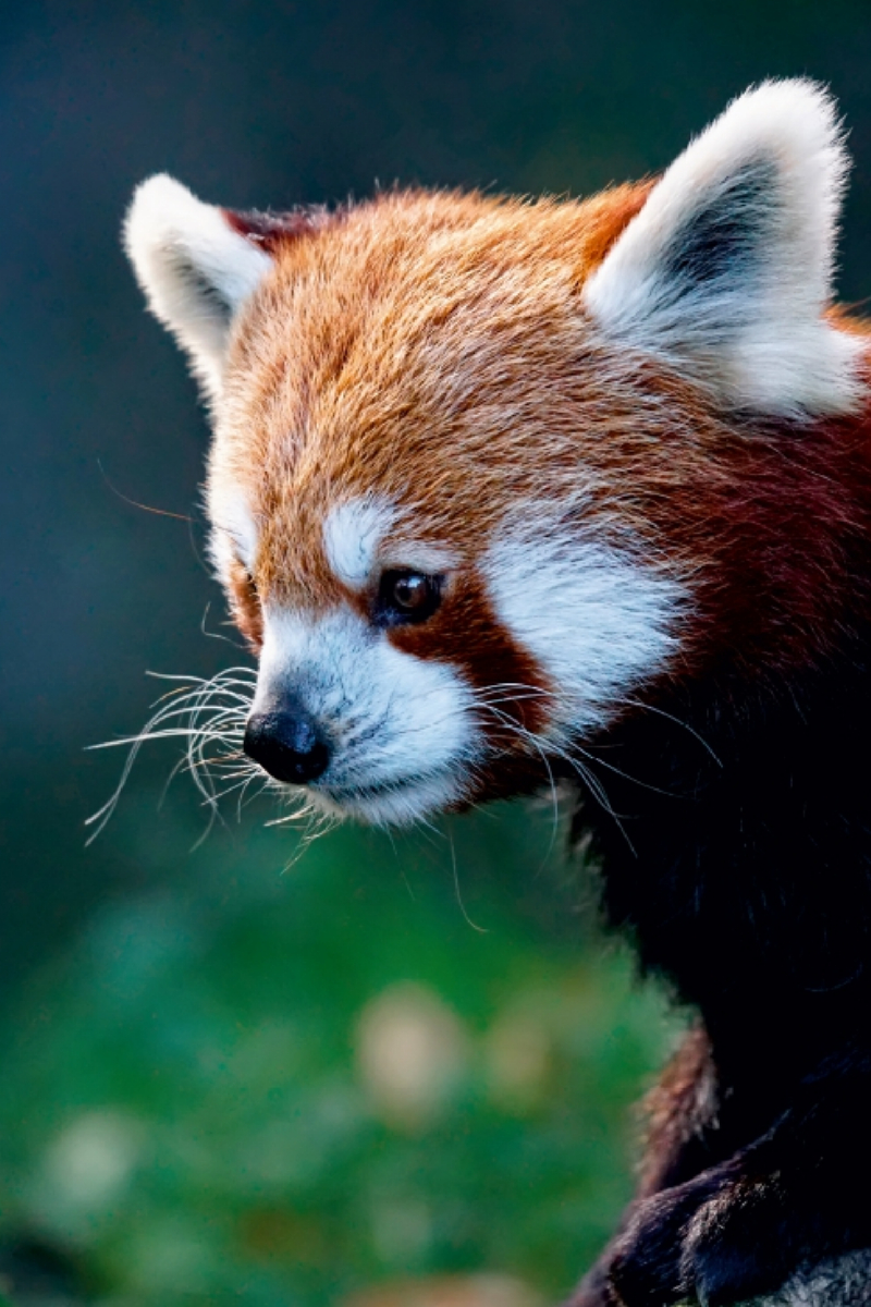 Premium Textil-Leinwand 30 cm x 45 cm hoch Roter Panda