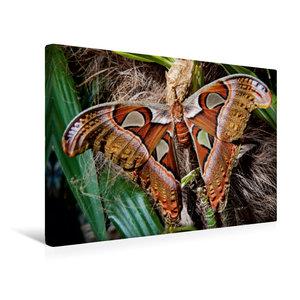 Premium Textil-Leinwand 45 cm x 30 cm quer Atlasfalter, Attacus atlas