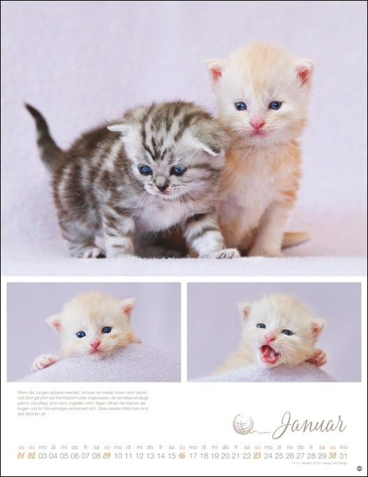 Katzenkinder Posterkalender 2022