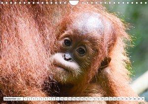 Die letzten freilebenden Orang Utans (Wandkalender 2021 DIN A4 quer)