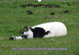 Schottlands Highland Schafe