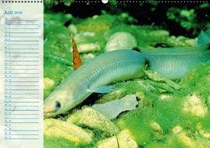 Fische - Leben im Fluss (Wandkalender 2016 DIN A2 quer)