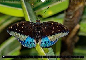 Tropische Schmetterlinge (Wandkalender immerwährend DIN A3 quer)