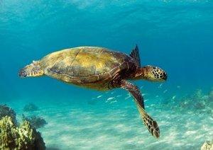 In der Schwebe - Meeresschildkröten (Posterbuch DIN A2 quer)