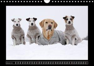 Parson Russell Terrier (Wandkalender 2016 DIN A4 quer)