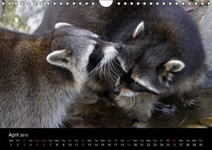 Raccoons / UK-Version (Wall Calendar 2015 DIN A4 Landscape)
