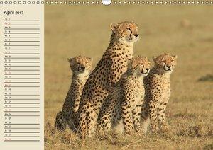 Geparden - Begegnungen in Afrika