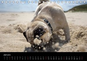 Mops 2016 (Tischkalender 2016 DIN A5 quer)