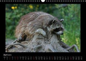 Raccoons / UK-Version (Wall Calendar 2015 DIN A3 Landscape)