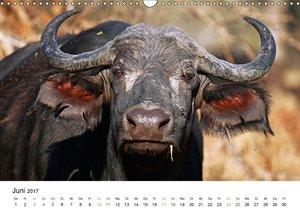 KRÜGER NATIONALPARK Afrikas Perle (Wandkalender 2017 DIN A3 quer