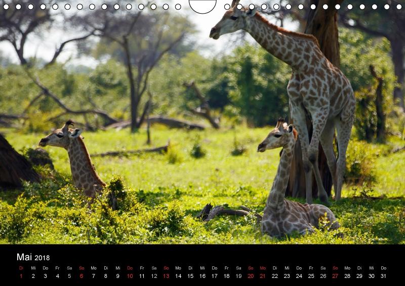 Giraffen ? Faszination der Wildnis - zum Schließen ins Bild klicken