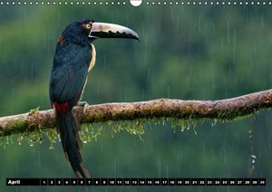 Fascinating birds of Costa Rica / UK-Version (Wall Calendar perp
