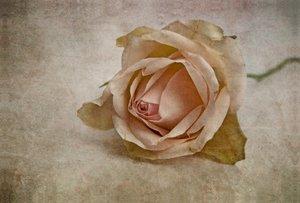 Premium Textil-Leinwand 120 cm x 80 cm quer La vie en rose
