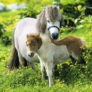 Freundliche Ponies. Puzzle 3 X 49 Teile
