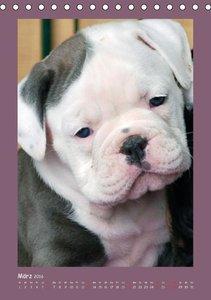 Bulldoggen-Babys (Tischkalender 2016 DIN A5 hoch)