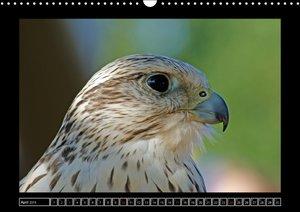 Greifvögel und Eulen im Portrait (Wandkalender 2016 DIN A3 quer)