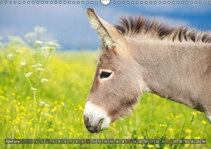 Donkeys Headstrong and pretty (Wall Calendar 2016 DIN A3 Landsca