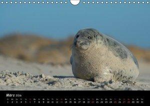 Robben auf Helgoland 2016CH-Version (Wandkalender 2016 DIN A4 qu