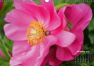 Peony Rose Without Thorns (Wall Calendar 2016 DIN A3 Landscape)