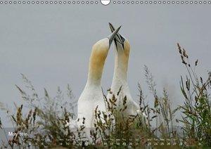 Northern Gannets (UK-Version) (Wall Calendar 2016 DIN A3 Landsca