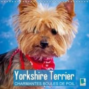 Yorkshire Terrier : Charmantes Boules de Poil