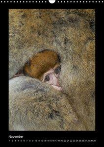 Affenbande 2014 Berberaffen (Wandkalender immerwährend DIN A3 ho