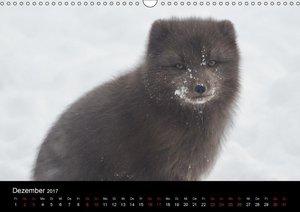 Polarfuchsstudien Wildlife (Wandkalender 2017 DIN A3 quer)
