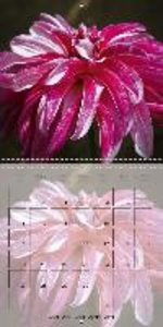 Dahlia Dreams (Wall Calendar 2015 300 &times 300 mm Square)