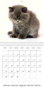 Persian Kittens (Wall Calendar 2015 300 × 300 mm Square)