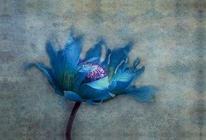 Premium Textil-Leinwand 75 cm x 50 cm quer blue papaver