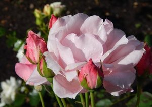 La Parade des Roses (Livre poster DIN A4 horizontal)