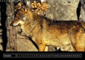 Iberian Wolf 2015 (Wall Calendar perpetual DIN A3 Landscape)