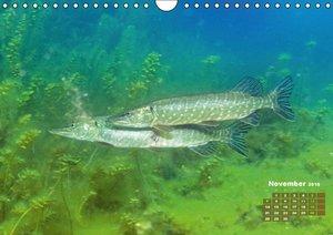 Fische: In Teichen und Flüssen (Wandkalender 2016 DIN A4 quer)
