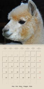 Alpacas & Llamas (Wall Calendar 2015 300 × 300 mm Square)